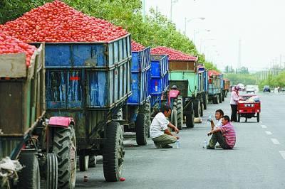 昌吉/昌吉一处番茄酱厂外,满载着番茄果实的大小卡车排着长队,等待...
