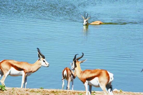 国家野生动物园位于纳米比亚北部,距离首都温得和克400公里,公园面积